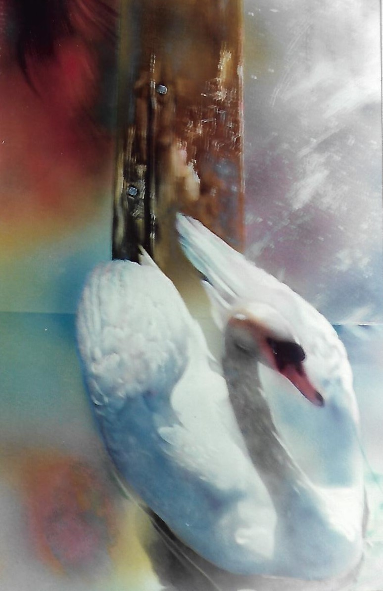 cisne -detalle-